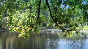 Tree with bright foliage is reflected in the lake.  stock video footage
