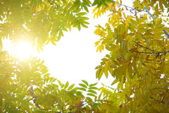 Tree with bright green and yellow leaves Stock Images