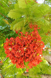 Tree with bright scarlet flowers Stock Photos