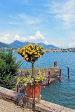 Tree with bright yellow flowers on the background of lake Maggiore and the mountains of Italy on the island of Isola Madre stock image