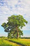 Tree, broken by lightning Stock Photos