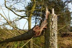 Tree broken in storm. Tree broken in the storm, Denmark Royalty Free Stock Photography