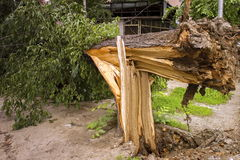 Tree broken by strong winds. Royalty Free Stock Image