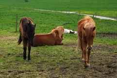 Tree brown iceland horses standing or laying on the pasture and green medow Royalty Free Stock Photos
