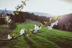 Tree brunch in bloom at the sunset in the mountains. Tree brunch in bloom  at the sunset in the mountains in spring Stock Photo