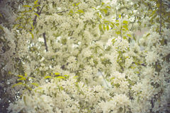 Tree brunch with white spring blossoms Royalty Free Stock Images