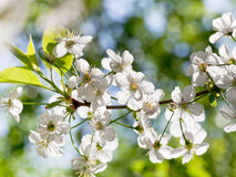 Tree brunch with white spring blossoms Royalty Free Stock Photo