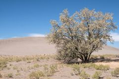 Tree at the Bruneau Dunes Stock Image