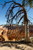 Tree in Bryce Canyon Royalty Free Stock Photos