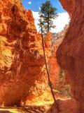 Tree on Bryce Canyon Stock Photos
