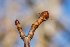 Tree bud Stock Photos