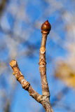Tree bud Stock Image