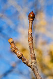 Tree bud Royalty Free Stock Photo