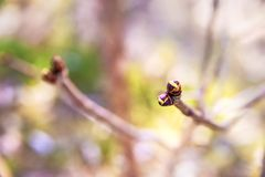 Tree in early spring. Tree bud in early spring Stock Images