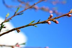Pink buds on tree branch on sunny spring day. Tree buds on a branch on sunny day in springtime royalty free stock images