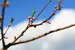 Pink buds on tree branch on sunny spring day. Tree buds on a branch on sunny day in springtime royalty free stock photos