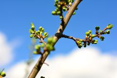 Bunch of buds on tree branch on sunny spring day. Tree buds bunch on a branch on sunny day in springtime stock images
