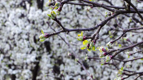 Tree buds in spring Royalty Free Stock Photo