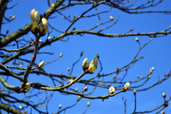 Tree buds in spring. Tree buds in the town garden in spring in bright blue sky Stock Photo