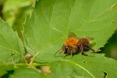 Tree bumblebee sitting on a green leaf stock images