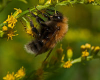 The tree bumblebee Bombus hypnorum Stock Photos