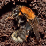 Tree bumblebee (Bombus hypnorum) hibernating. Insect shown during winter hibernation amongst soil and rotten wood in crevice in tree Stock Image