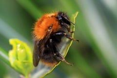 Tree bumblebee Bombus hypnorum stock photography