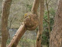 Tree burl Royalty Free Stock Photos