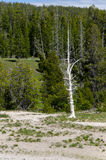 Tree burned by Geyser Yellowstone Stock Photography