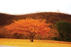 Tree and Burned Hill. A tree in the foreground with fall foliage and a hill in the background that has been recently burned in a forest fire Royalty Free Stock Photos