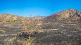 Tree in Burned Savanna Royalty Free Stock Photo