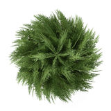 Tree bush isolated. Chamaecyparis lawsoniana top Stock Images