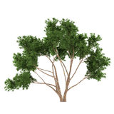 Tree bush isolated. Eucalyptus Royalty Free Stock Photography