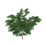 Tree bush isolated.Platanus Royalty Free Stock Photography