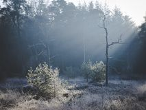 Tree and bush lit up by early morning sunshine on frosty ground royalty free stock photography