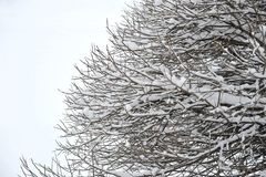Tree Bush willow covered with snow in winter. Abstract background royalty free stock photography
