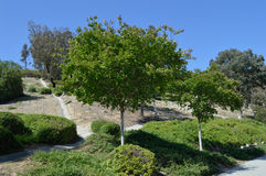 Tree with Bushes on Hillside Royalty Free Stock Photo