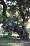 Tree with Cactus. Tree and Cactus near Lake Possum Kingdom Stock Photo
