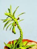 Tree cactus Stock Photo