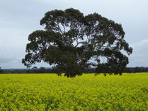 Tree in canola field. Lone tree in the middle of a field of golden canola Royalty Free Stock Photos