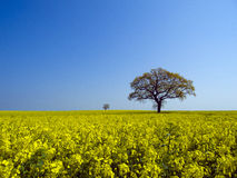Tree in canola field Stock Images