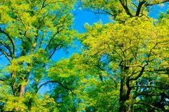 Tree canopy Royalty Free Stock Photo