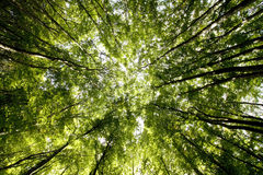 Tree canopy. Abstract photo of tree canopy from low perspective stock image