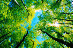 Tree canopy Royalty Free Stock Image