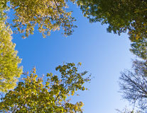 Tree canopy. Trees against blue sky. Sky's the limit is the description of this image as the trees reach to the heavens Stock Image