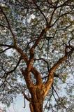 Tree canopy. Spreading tree canopy Royalty Free Stock Photo