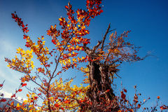 Tree canopy in autumn beech forest against the blue sky. Royalty Free Stock Image