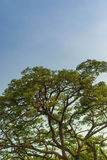 Tree canopy and big blue sky Royalty Free Stock Image