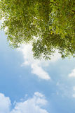 Tree canopy and big blue sky Stock Images