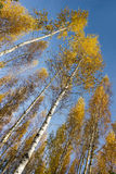 Tree canopy of birch trees Royalty Free Stock Images
